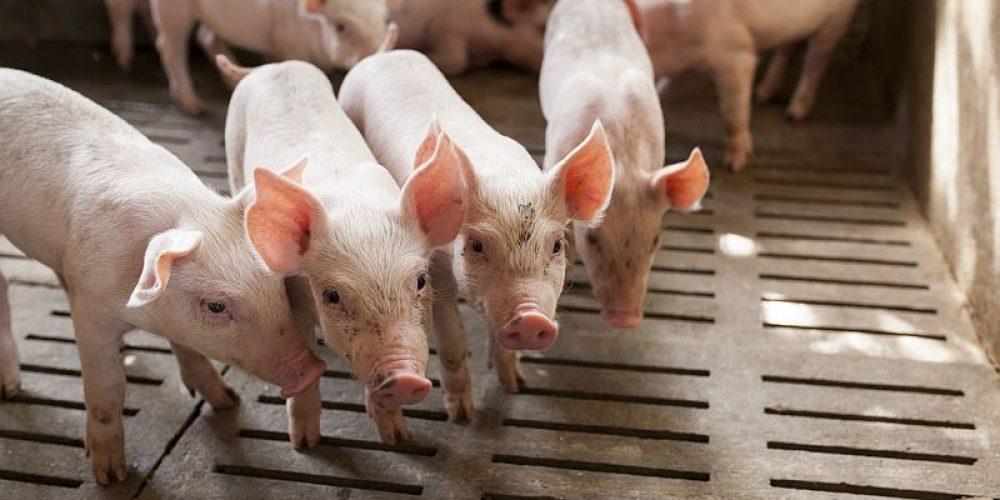 Modern Livestock Farming Can Pose Public Health Risk
