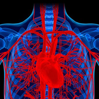 The human body maintains blood pressure using the heart muscles.
