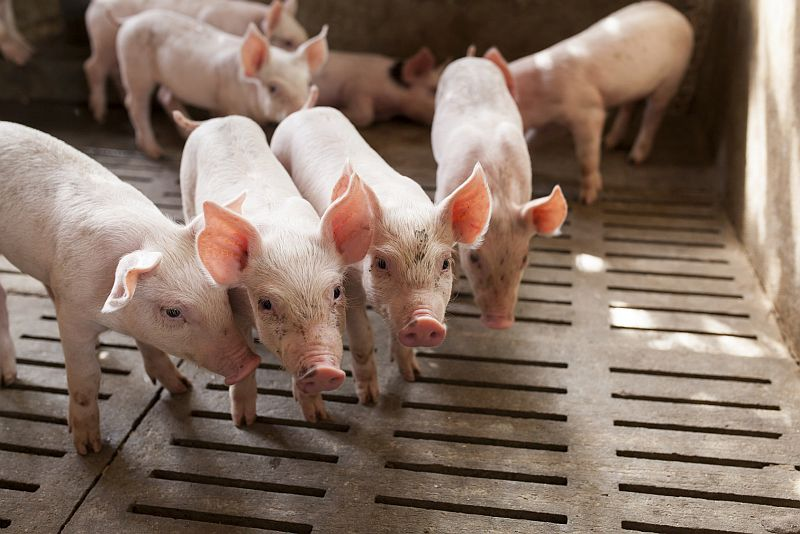 News Picture: Modern Livestock Farming Can Pose Public Health Risk