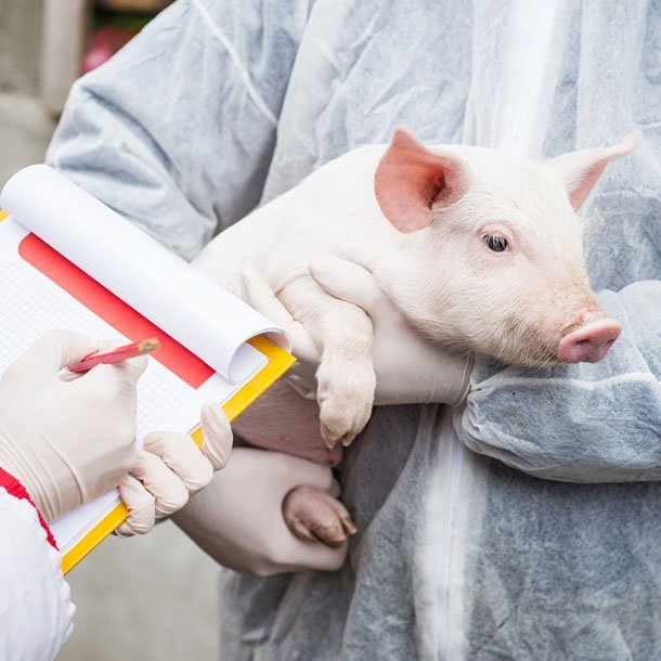 As the world grapples with the new coronavirus pandemic, researchers have discovered a new type of swine flu virus that can infect people and has the potential to cause a future pandemic.